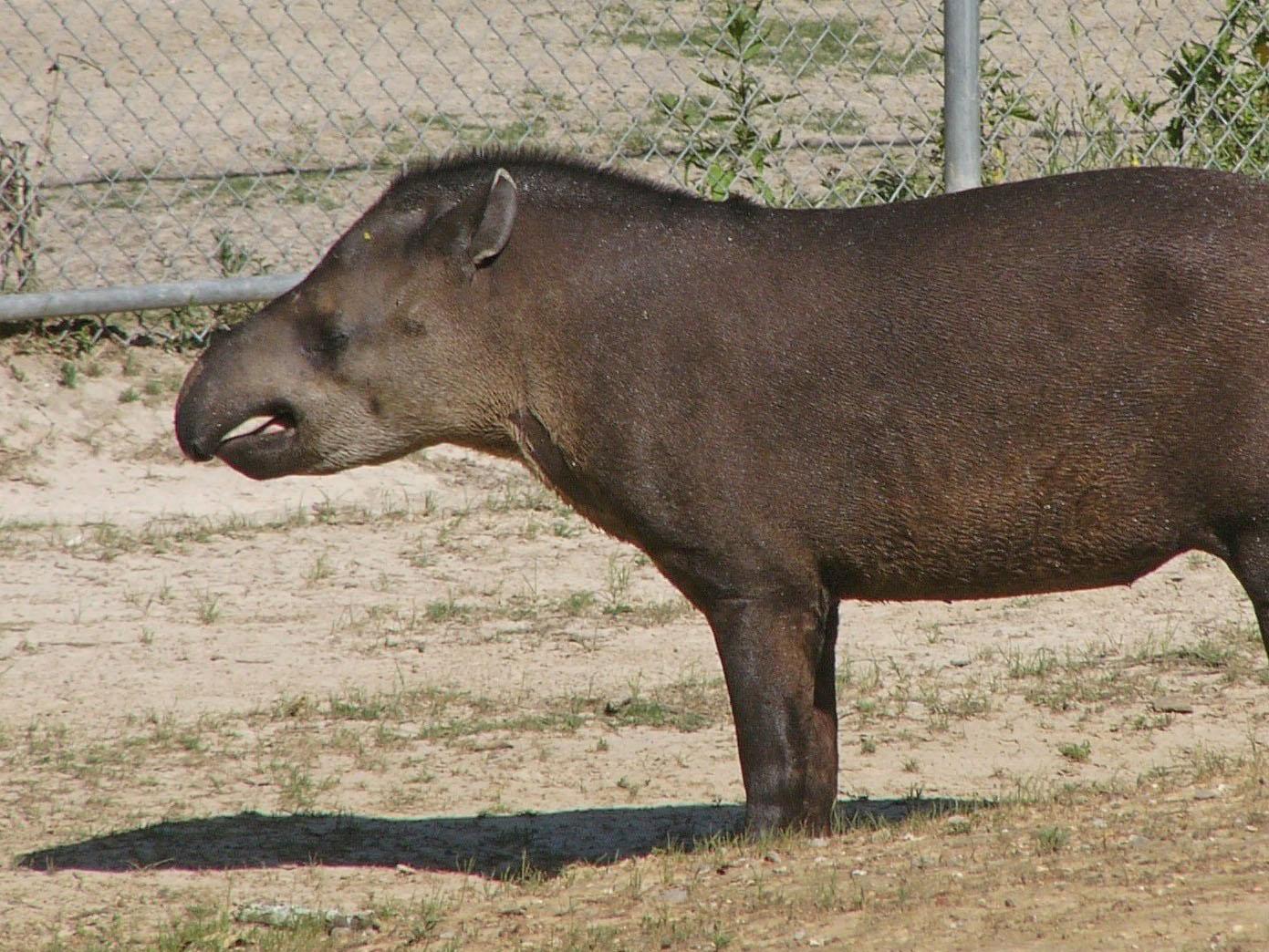 The Online Zoo Lowland Tapir
