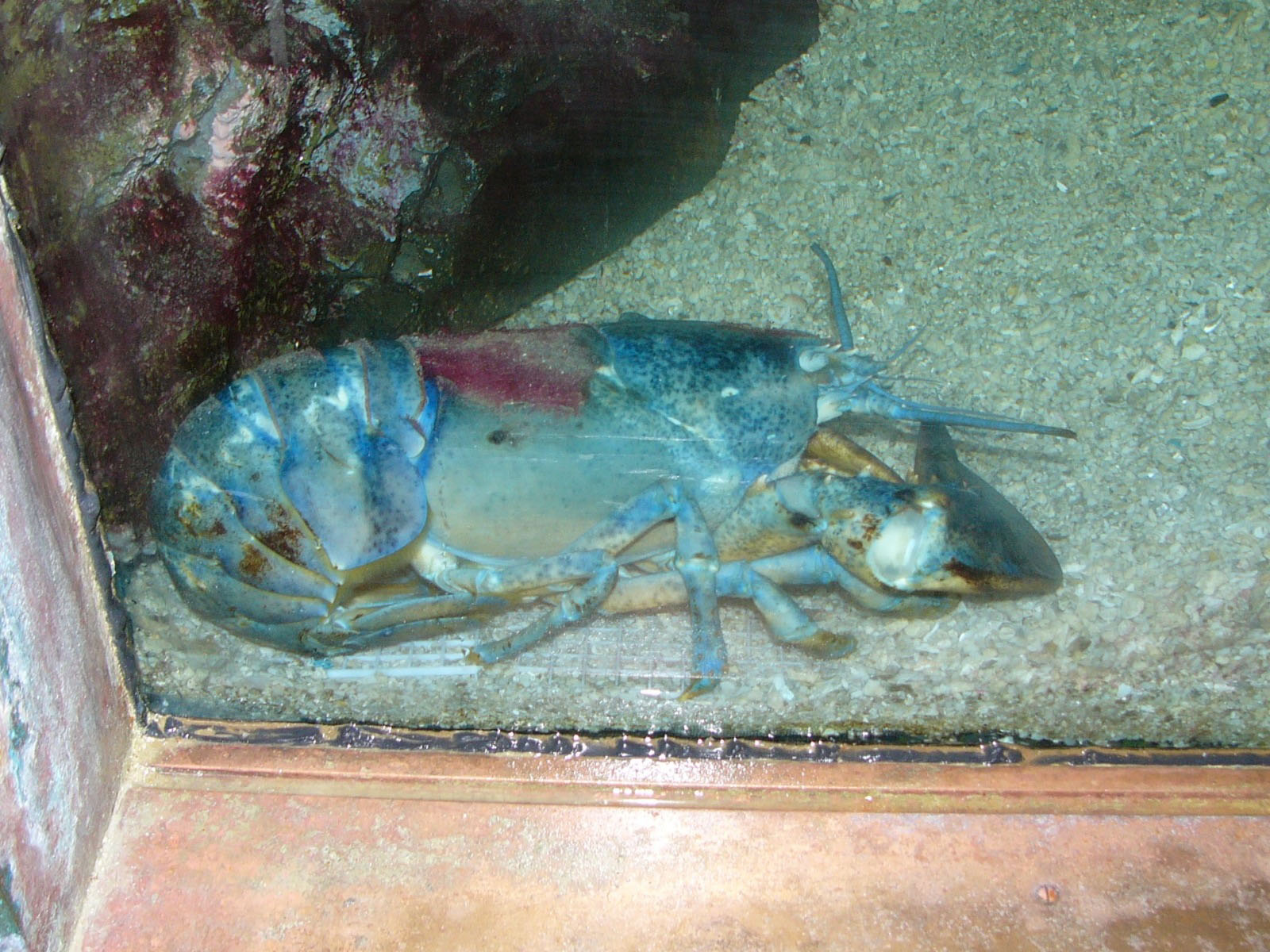 The online zoo american lobster for Aquarium washington dc