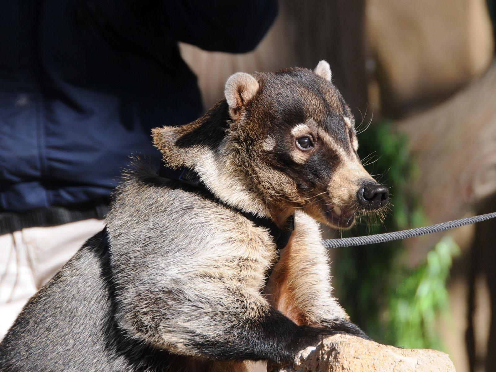 Coati  Wikipedia
