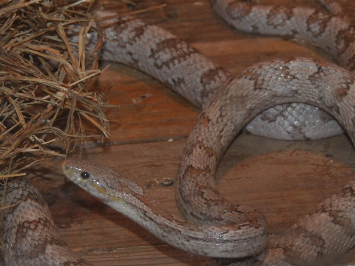 The Online Zoo - Corn Snake