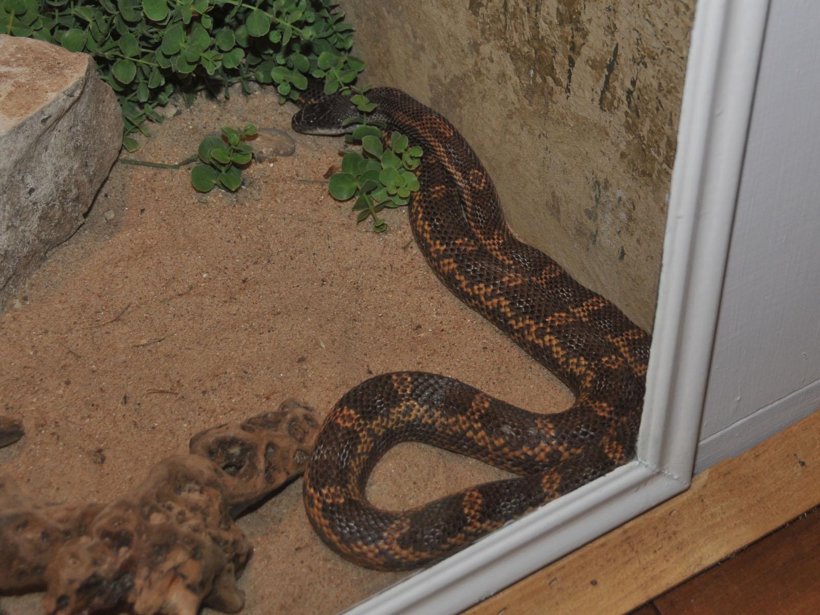 The Online Zoo - Rat Snake