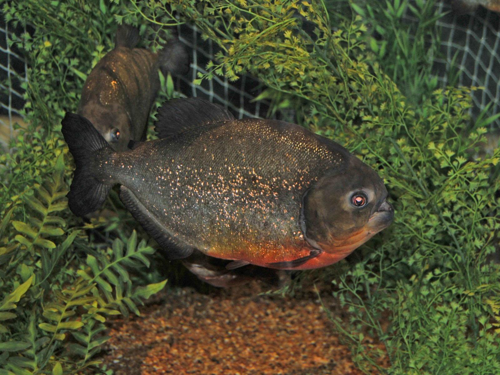 red bellied piranha py...