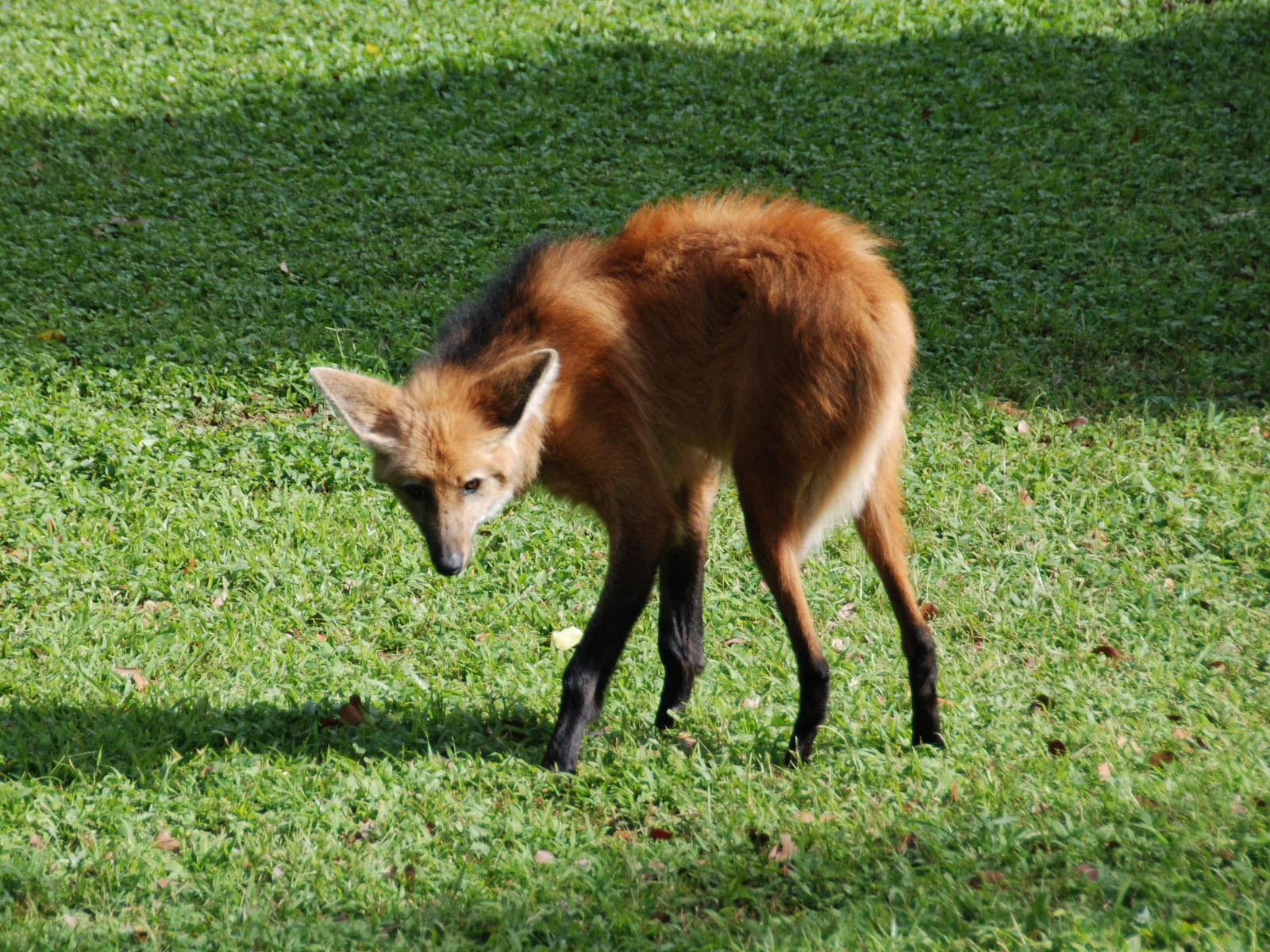 maned wolf Cute maned wolf coloring page from wolf category select from 30094 printable crafts of cartoons, nature, animals, bible and many more.
