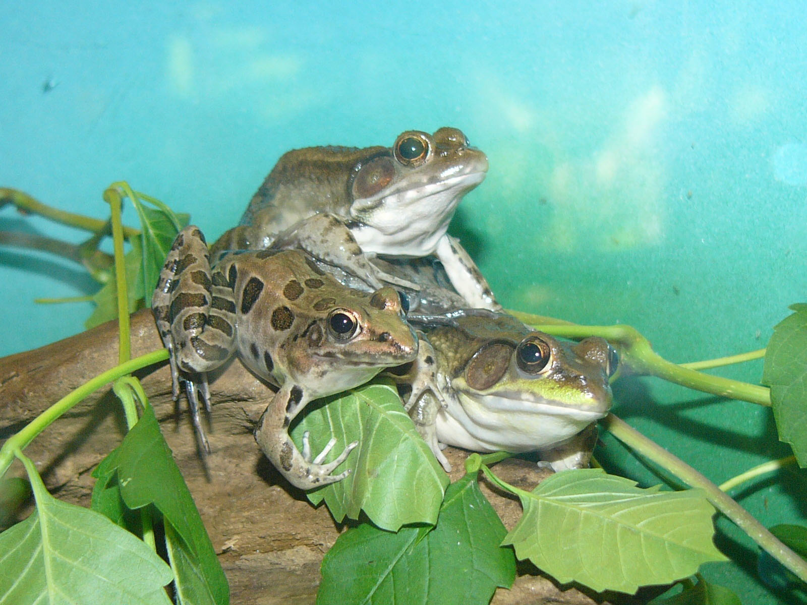 L Clamitans The Online Zoo - Green...