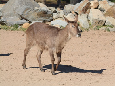 African Ring-necked Parakeet