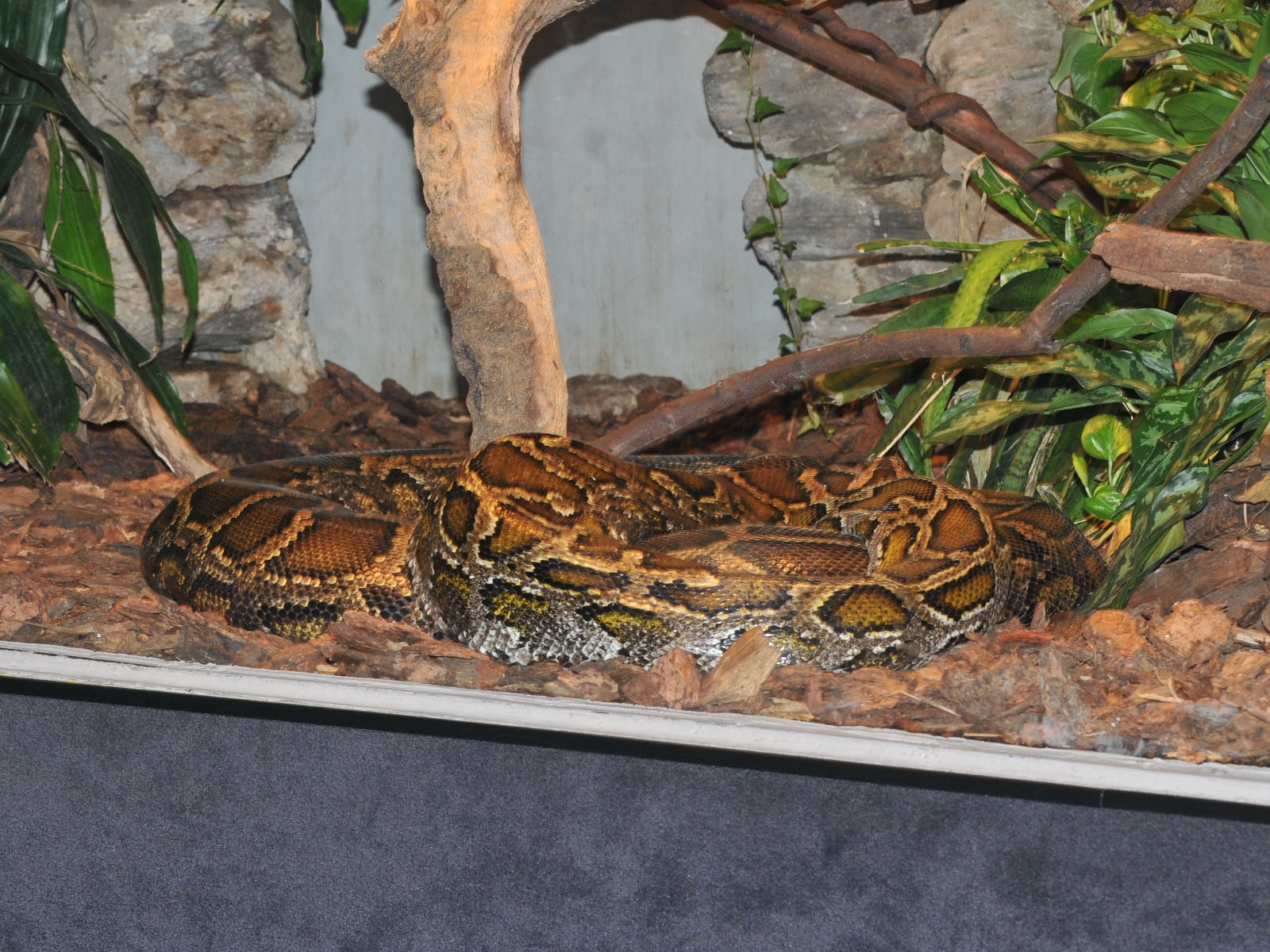 Baby Reticulated Python Reticulated python
