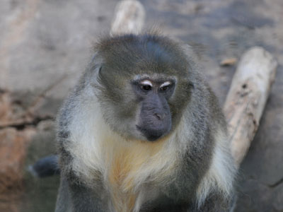 Tana River Mangabey