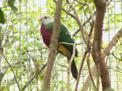 Wompoo Fruit Dove