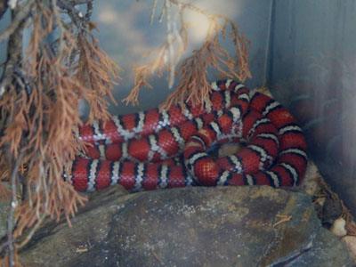 Chihuahua Mountain Kingsnake