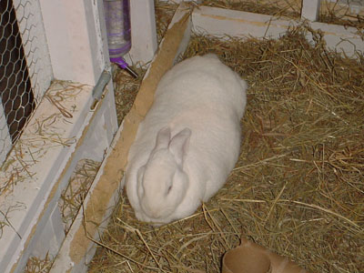 Domestic Rabbit