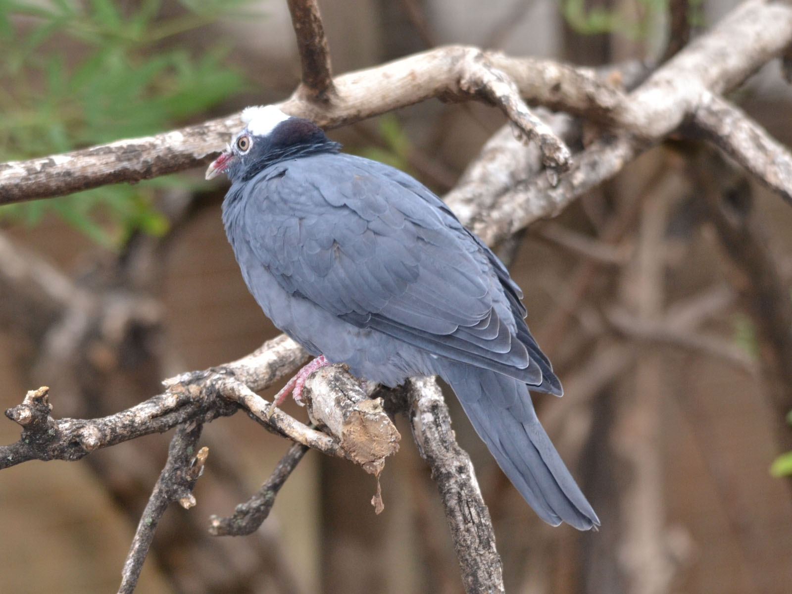 White crowned pigeon - photo#23