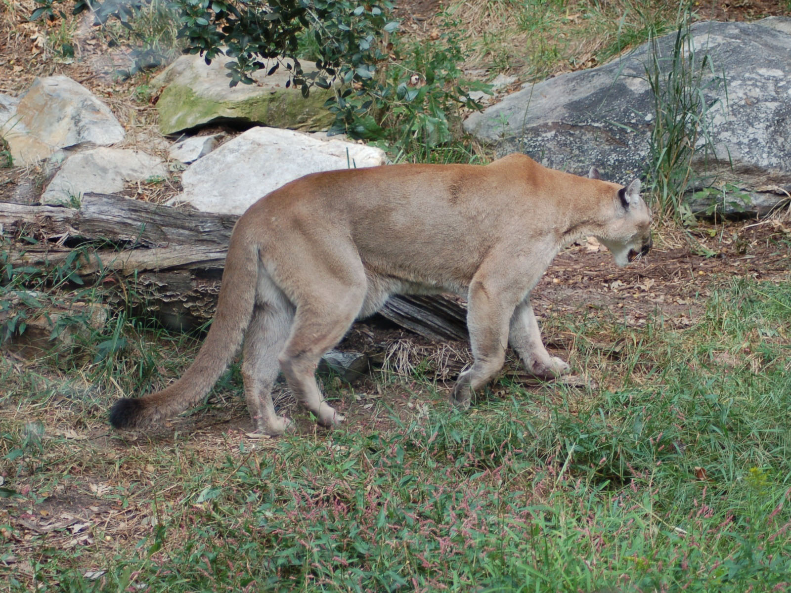 cougars in nc
