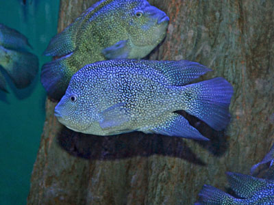 The Online Zoo - Texas Cichlid