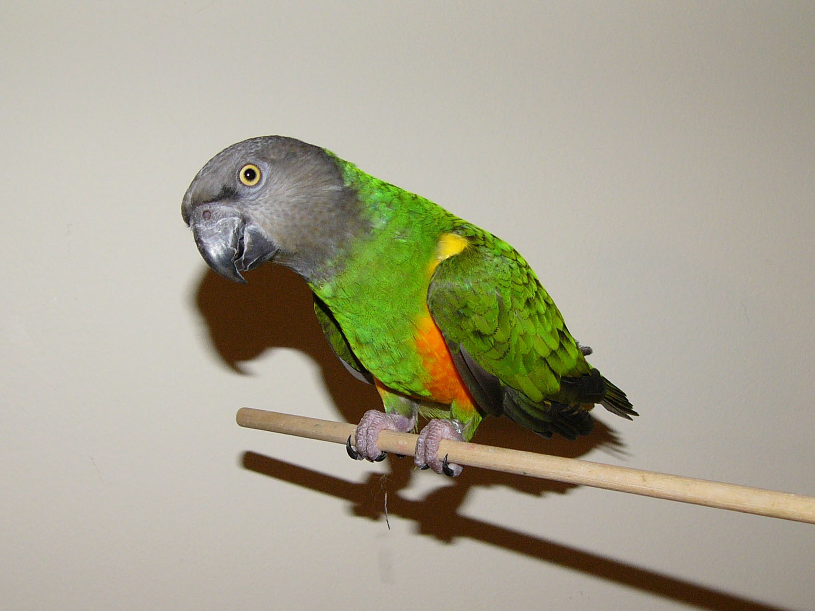 How to Care for a Senegal Parrot: 7 Steps (with Pictures)