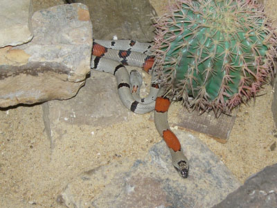 Mexican Kingsnake
