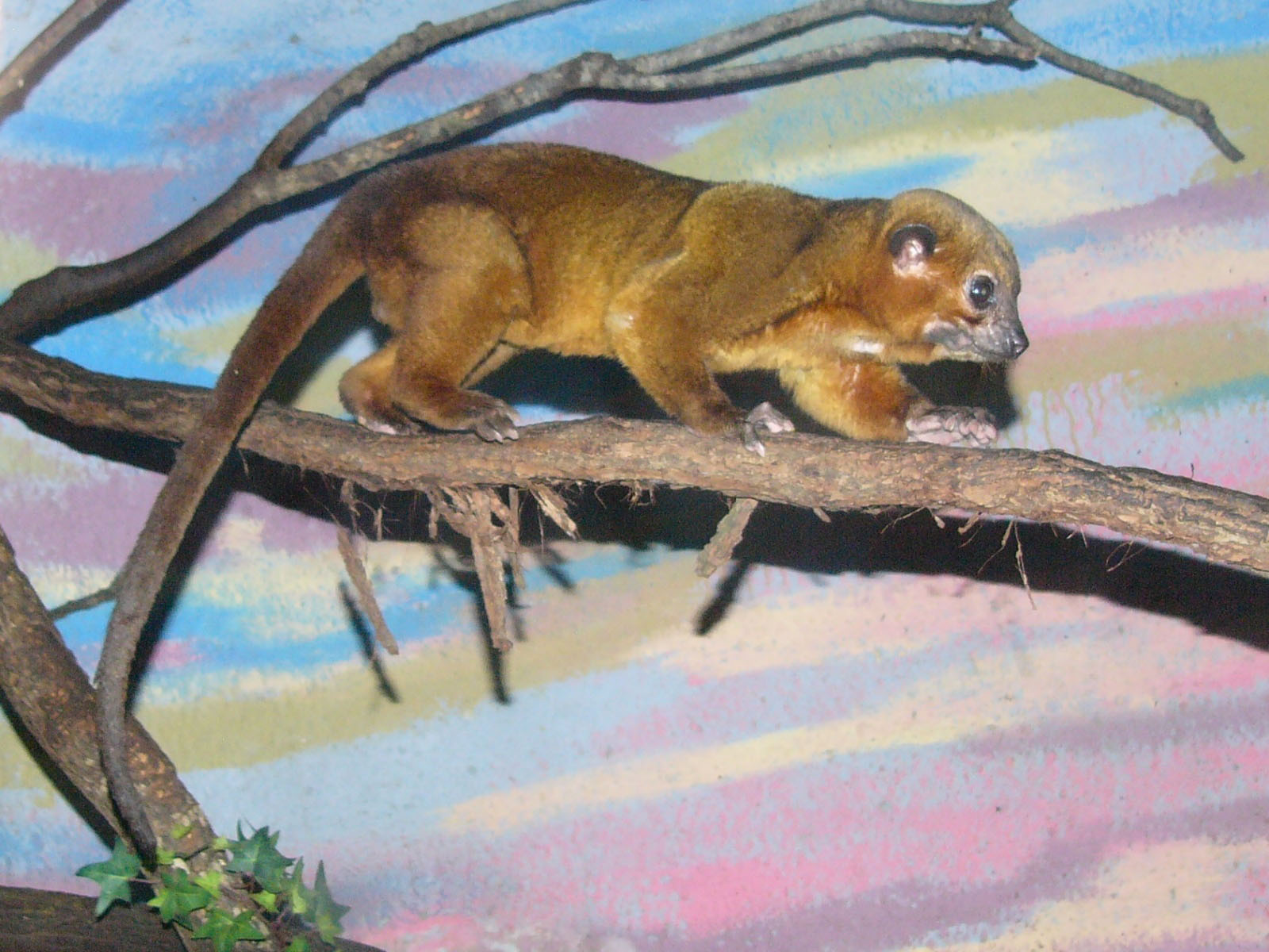 The Online Zoo - Kinkajou