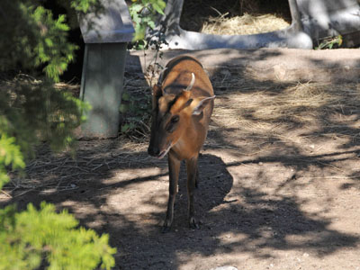 Leaf Muntjac according to the zoo