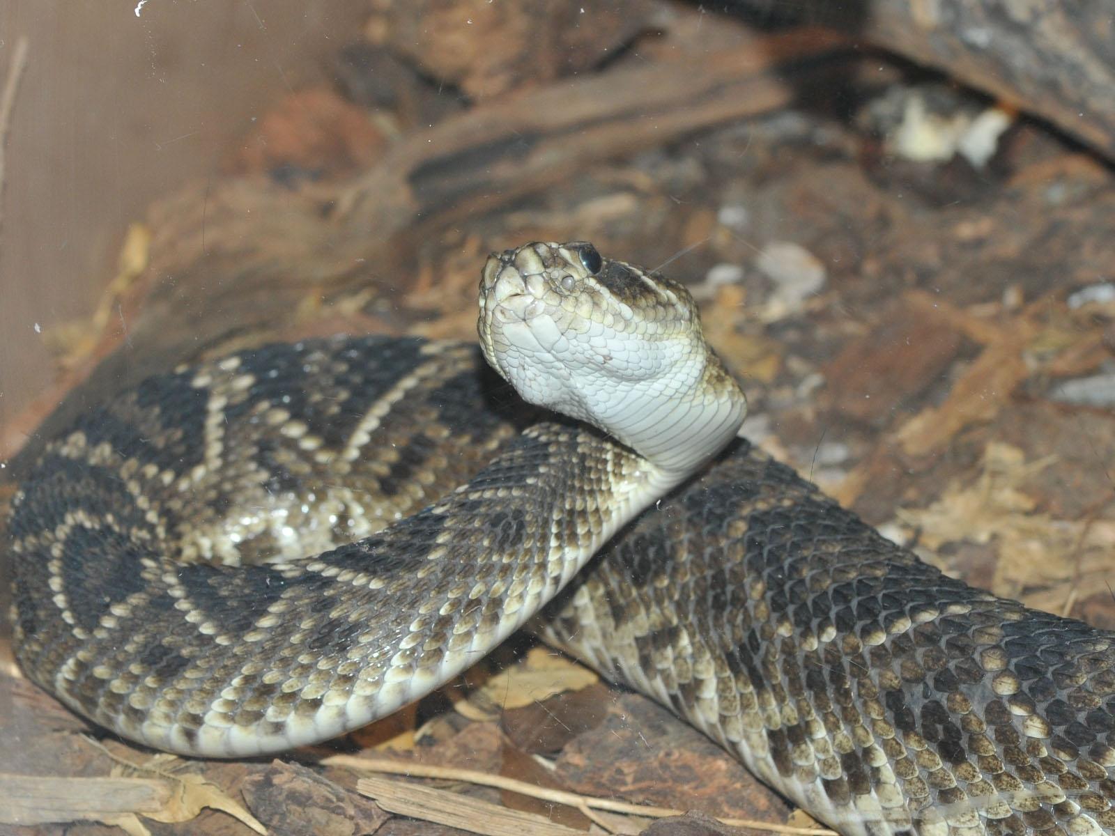 The Online Zoo - Eastern Diamondback Rattlesnake