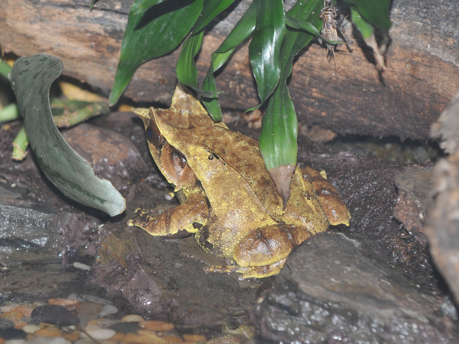 Amphibians Toads The Online Zoo - Malay...