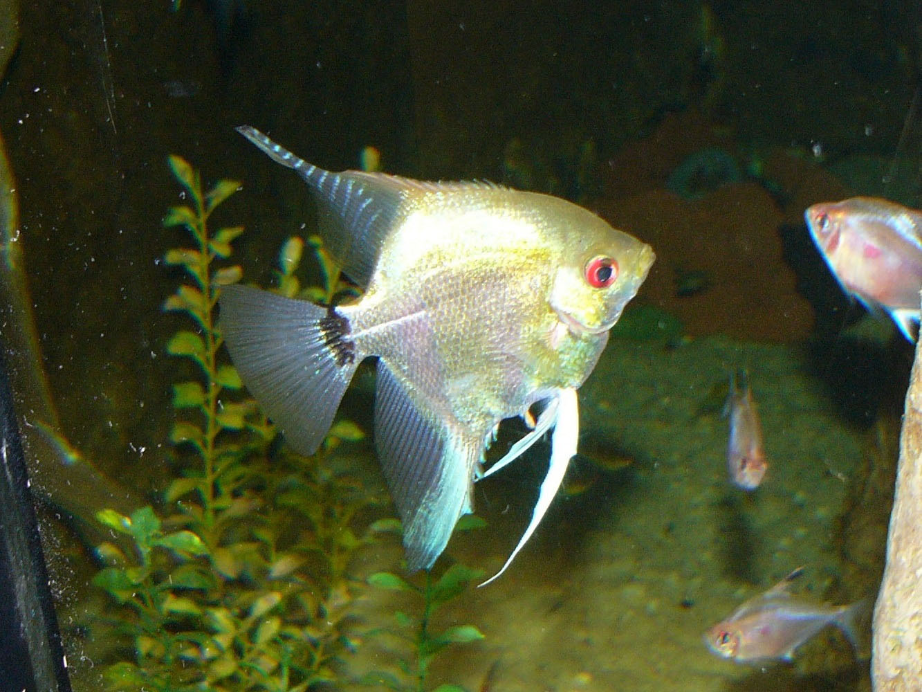 The Online Zoo - Freshwater Angelfish