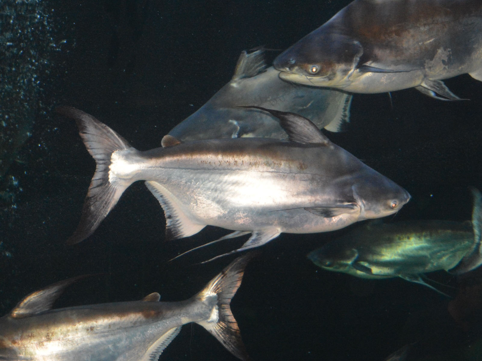 The Online Zoo - Giant Pangasius