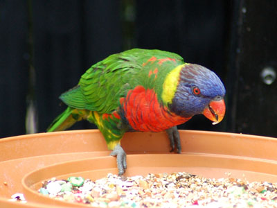 Green-naped Lorikeet