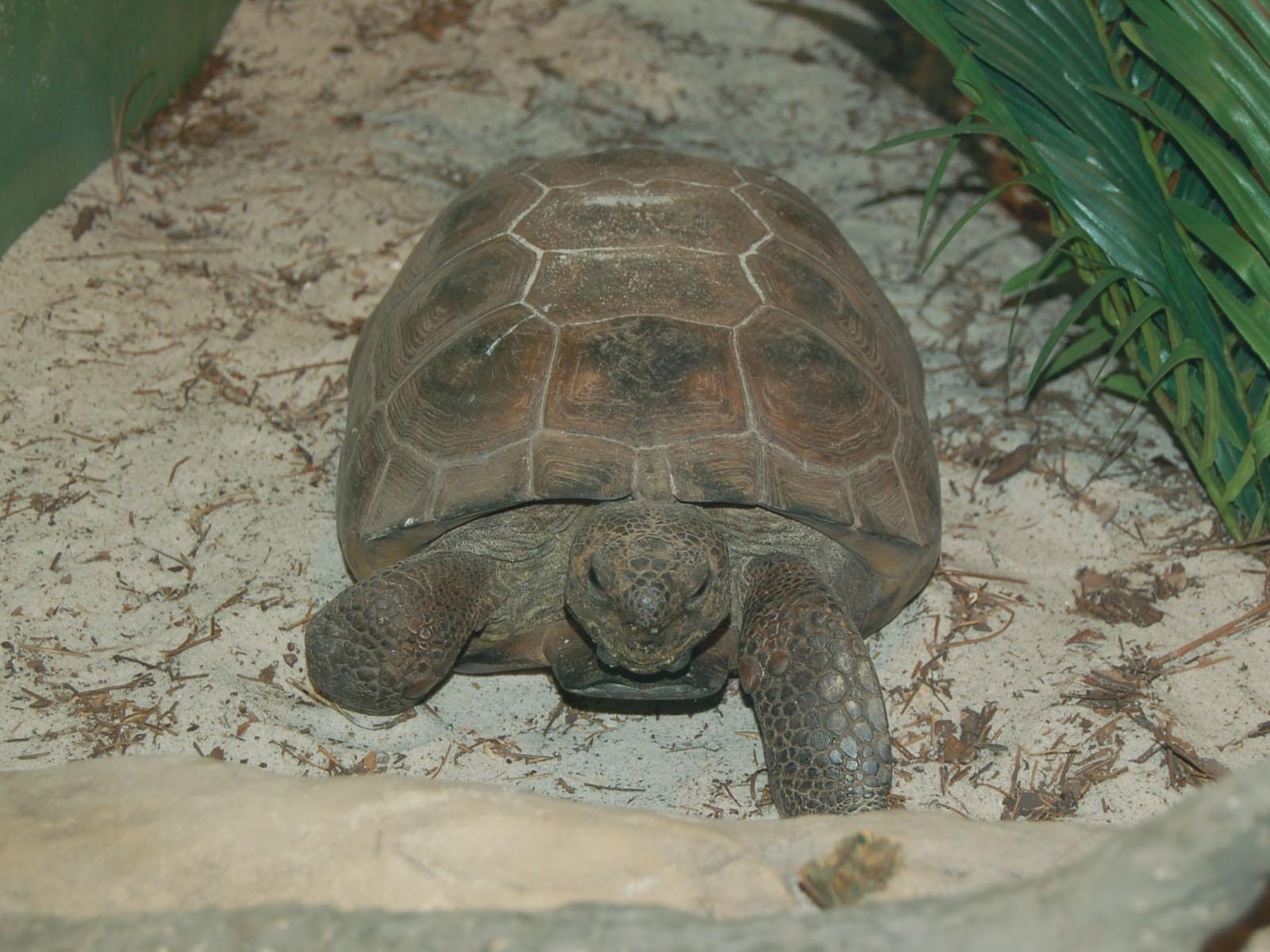 The Online Zoo Gopher Tortoise