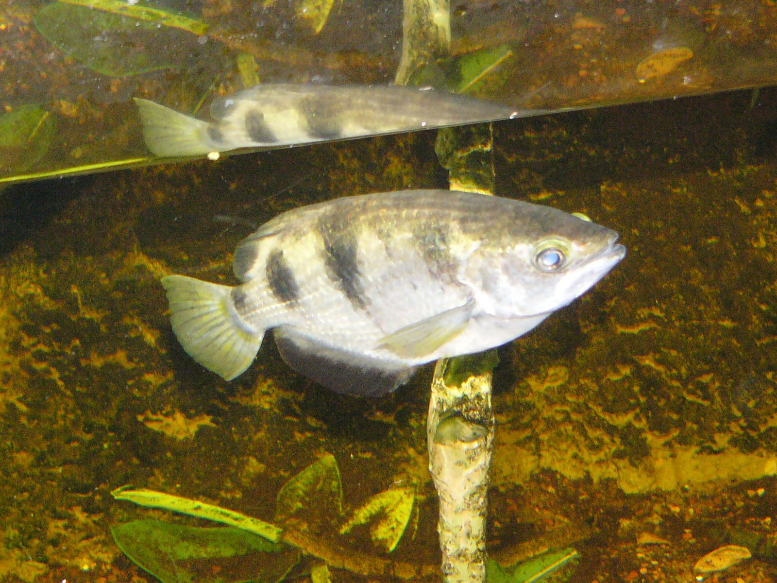 Banded Archerfish : Banded Archerfish