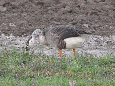 Greater White-fronted Goose x Canada Goose hybrid
