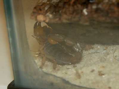 Scorpions in Georgia USA http://www.theonlinezoo.com/pages/peruvian_golden_scorpion.html