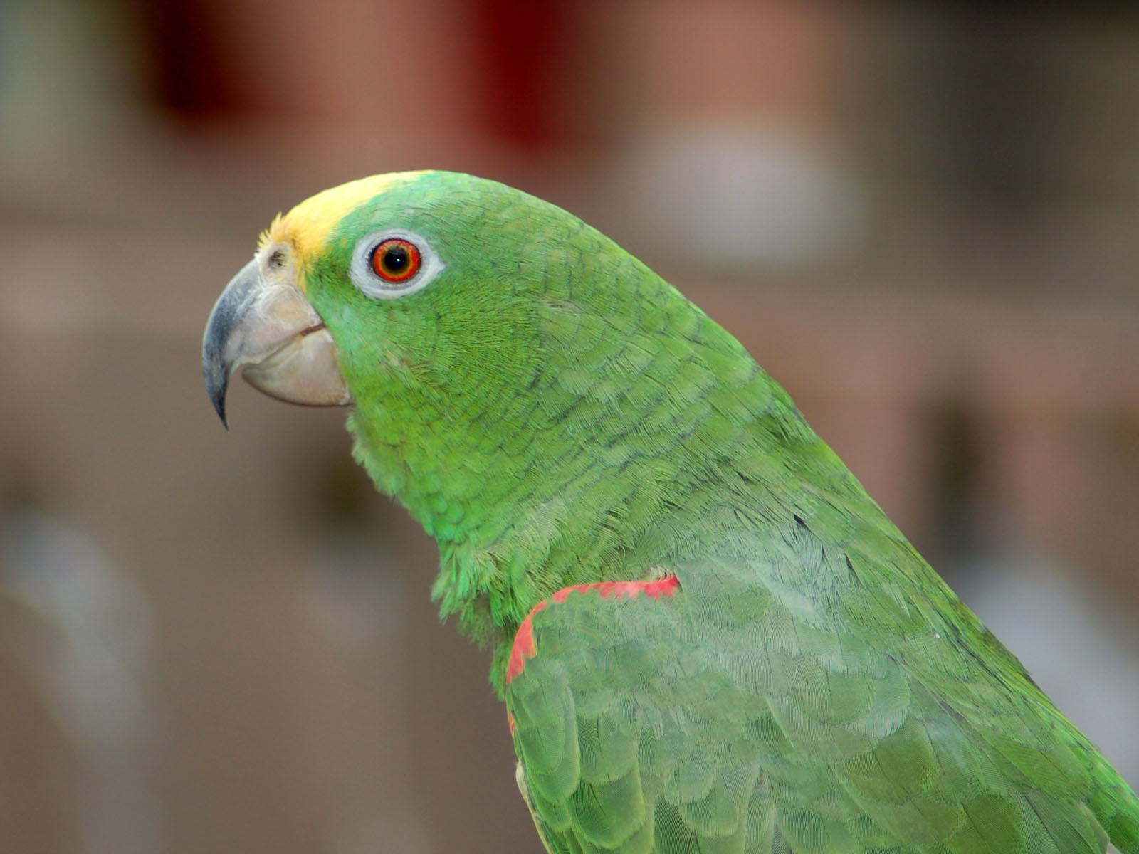 The Online Zoo - Yellow-crowned Amazon Yellow Crowned Amazon
