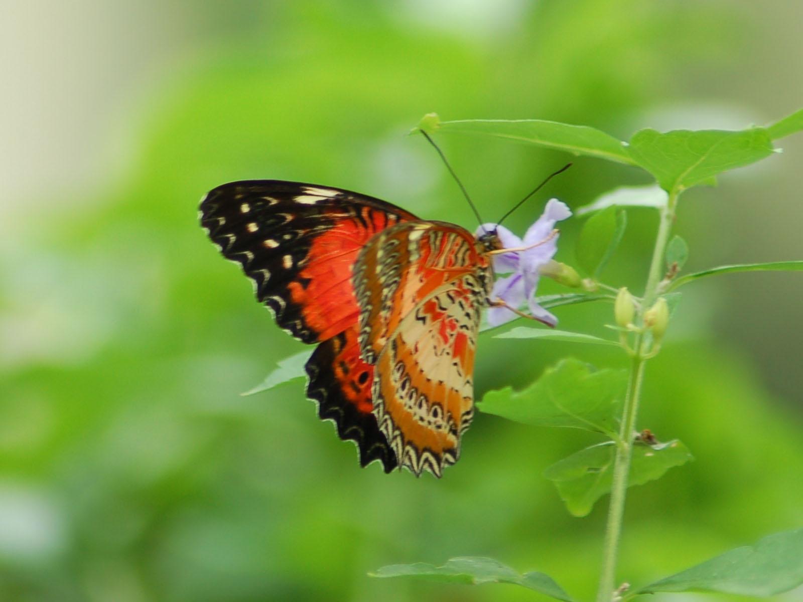 Butterfly Online