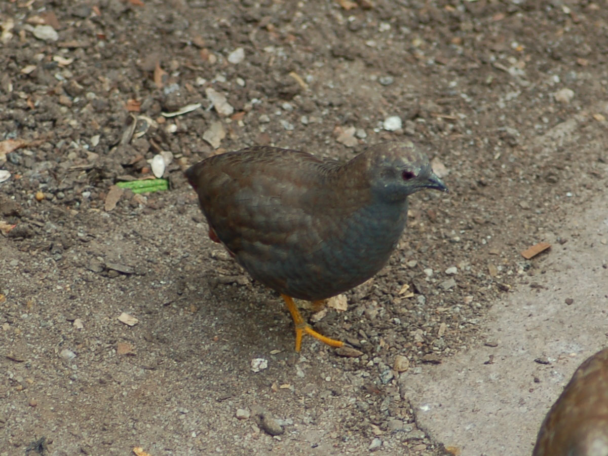 king quail baby