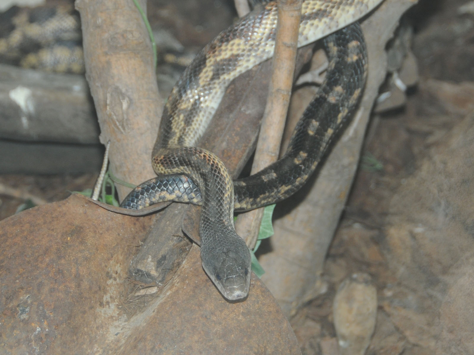 The Online Zoo - Rat Snake