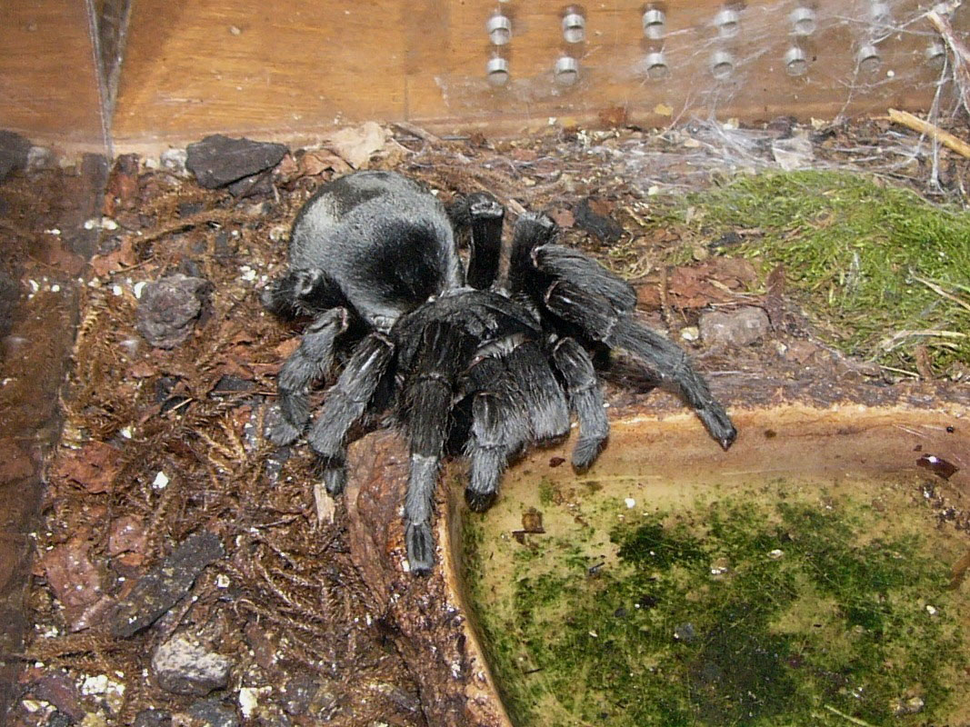 Tarantula eating bird