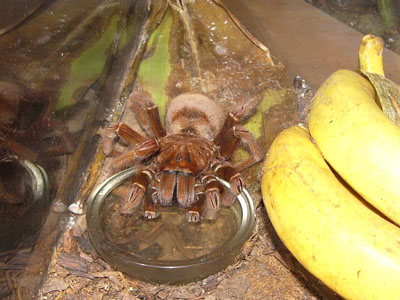 Goliath Pink-footed Spider