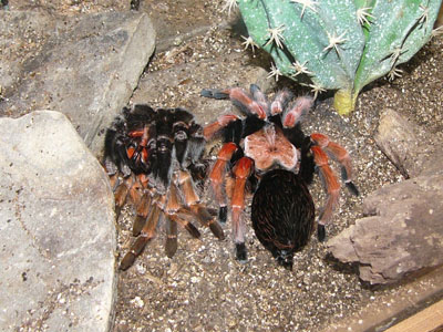 Mexican Beauty Tarantula