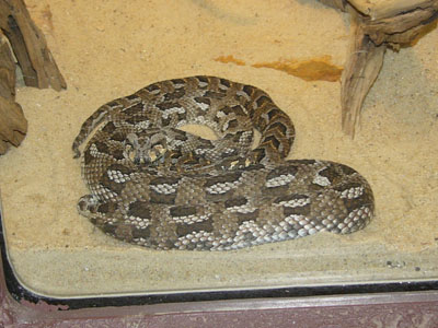 Many-horned Adder