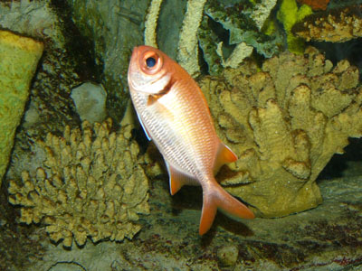 Crimson Soldierfish