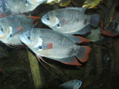 Giant Red Fin Gourami