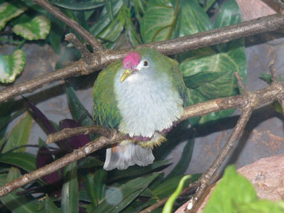 Beautiful Fruit Dove