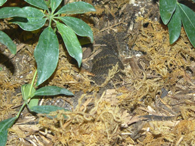 Common Death Adder