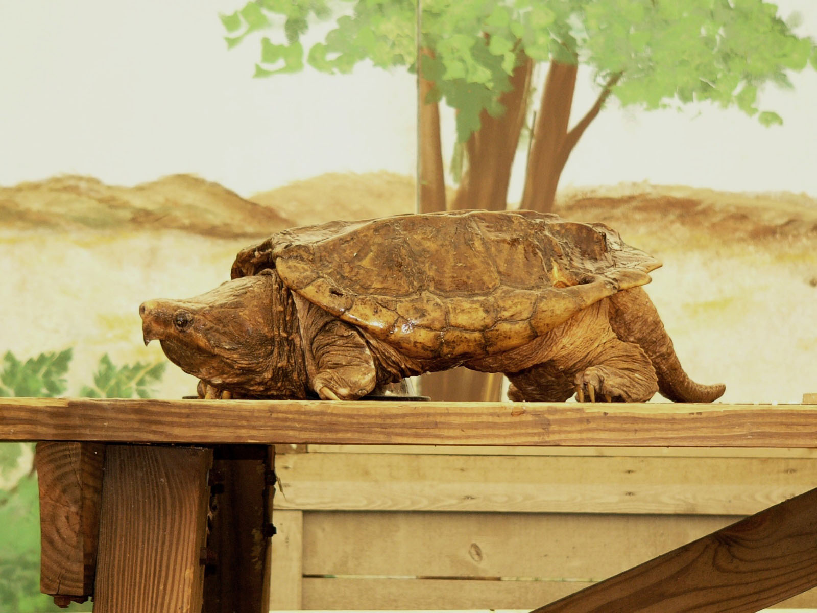 The Online Zoo - Alligator Snapping Turtle