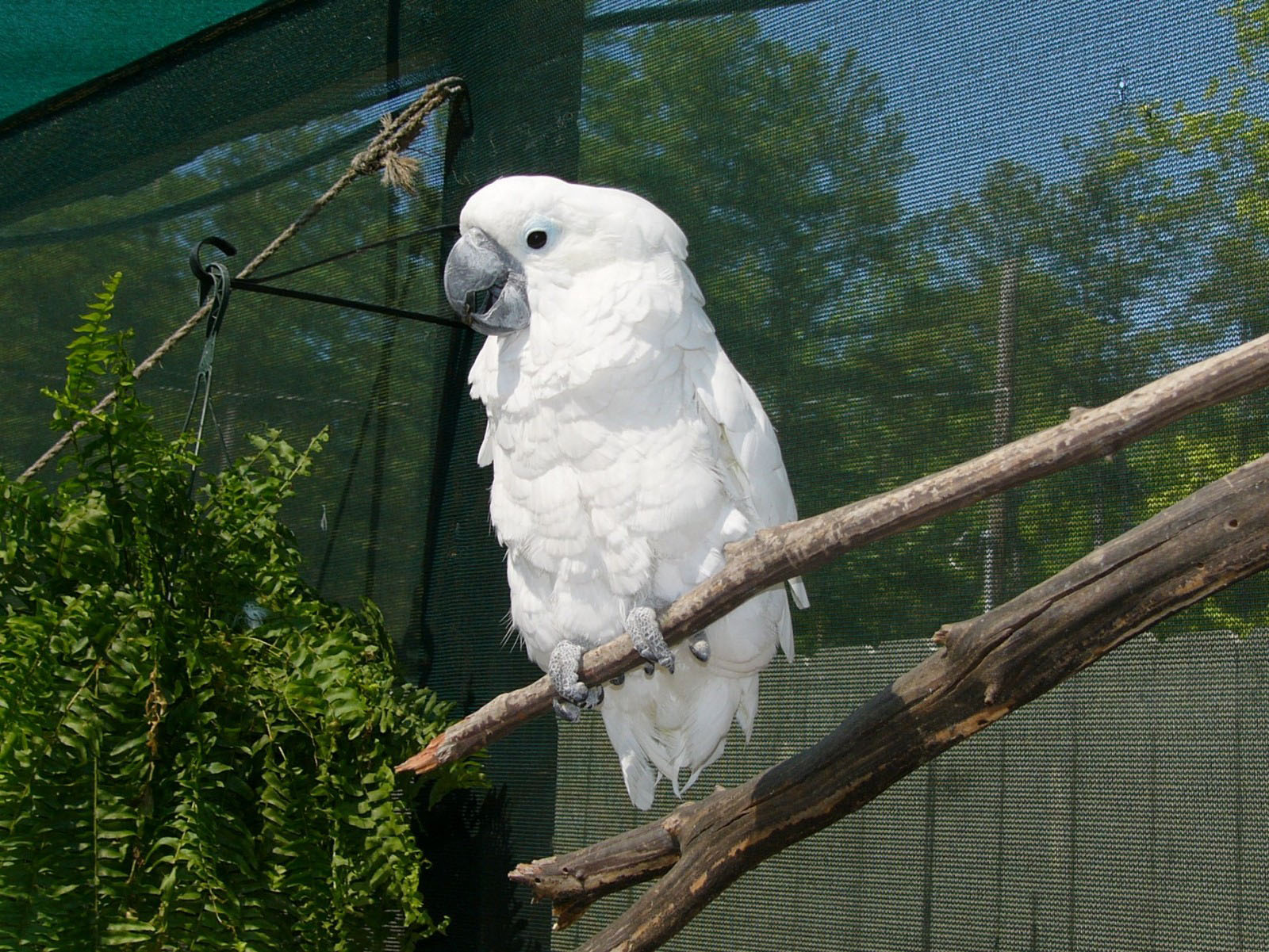 the online zoo white cockatoo