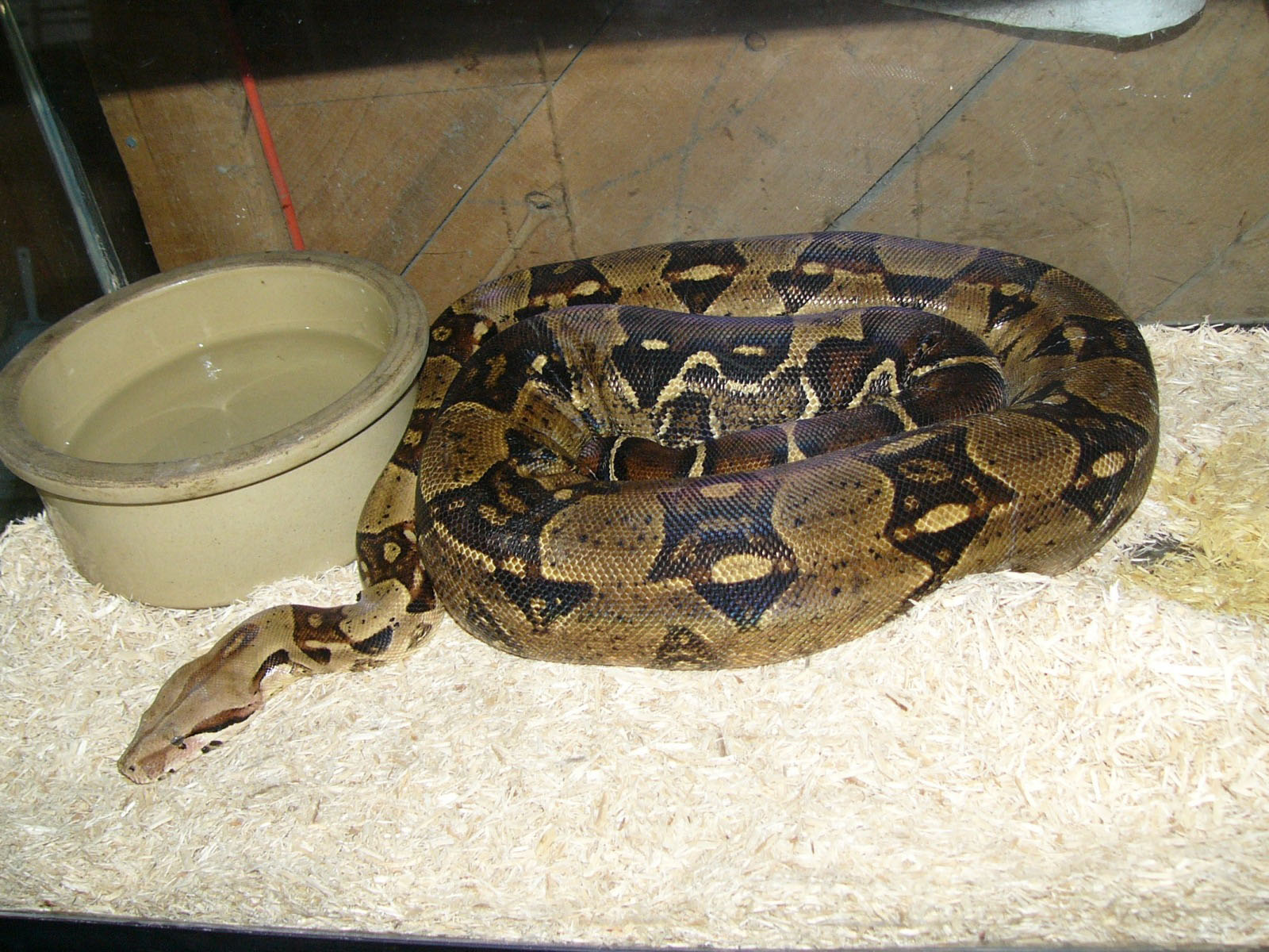 Image result for boa constrictor