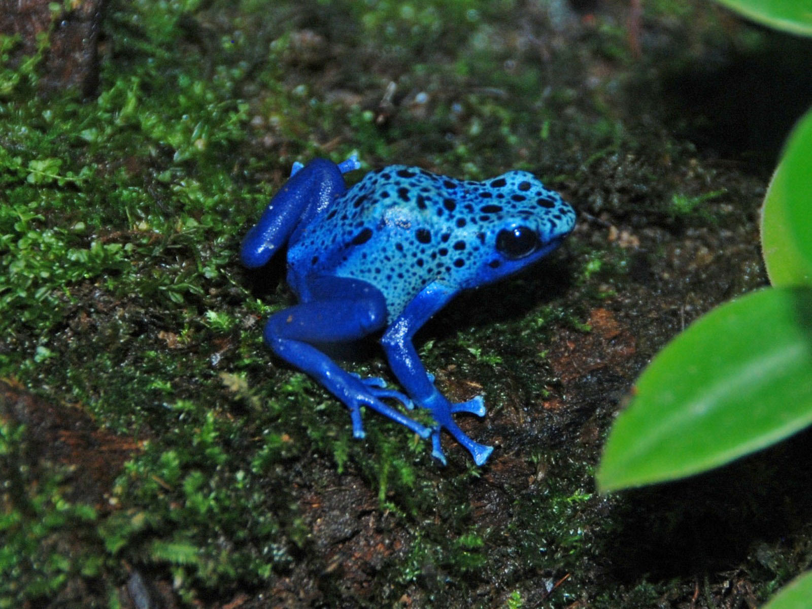 The Online Zoo - Dyeing Poison Dart Frog