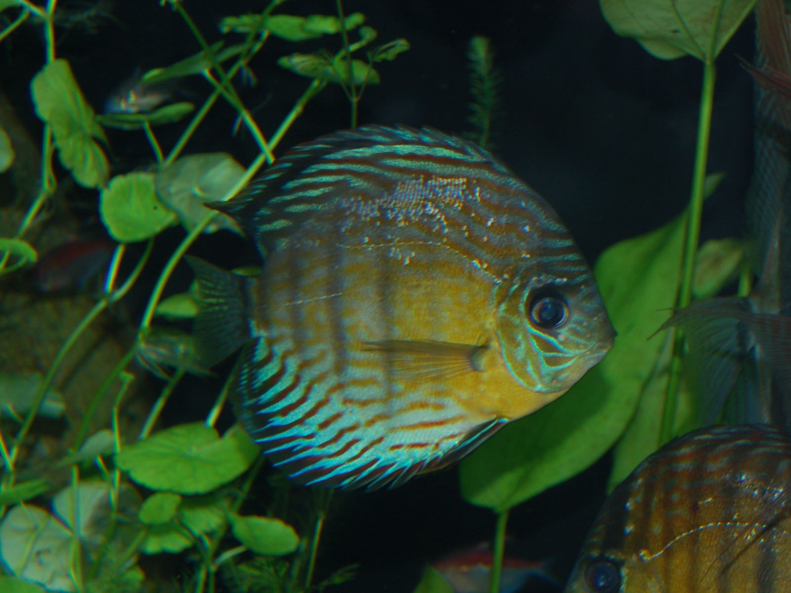 Green Discus