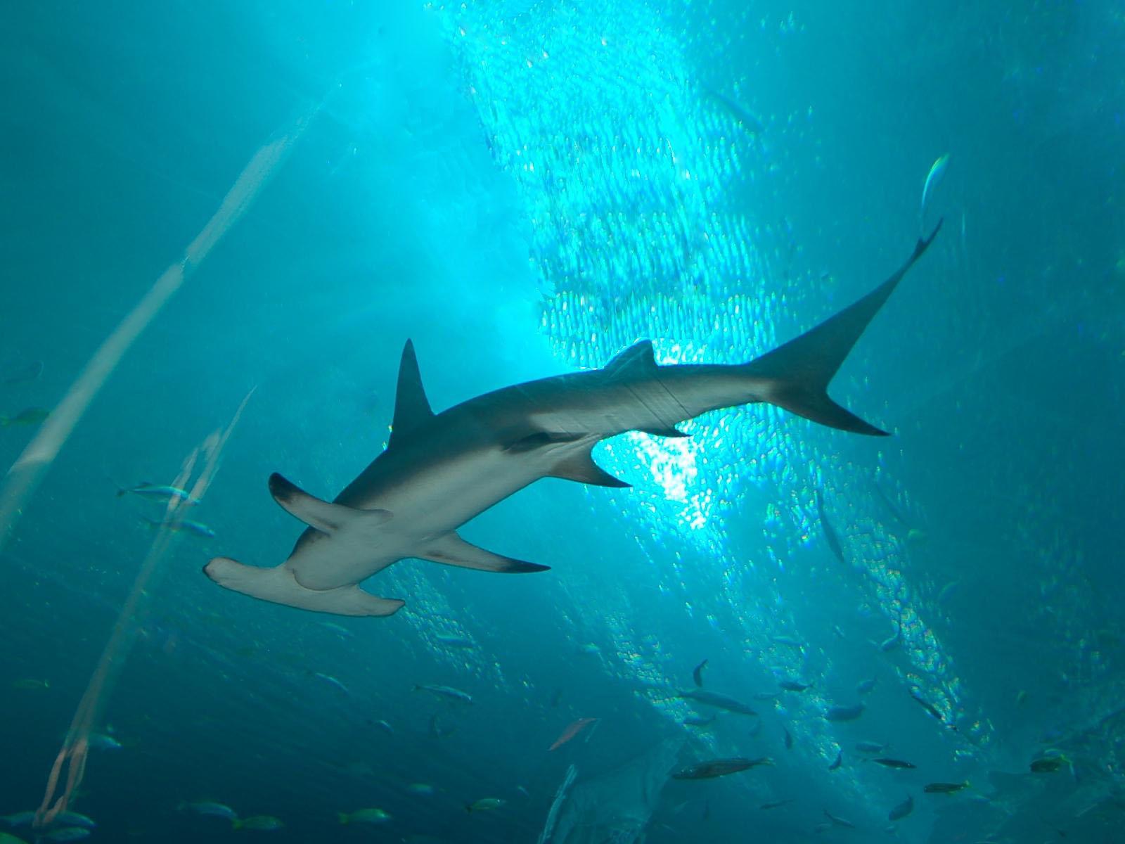 the online zoo great hammerhead shark