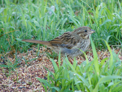 Unidentified Sparrow