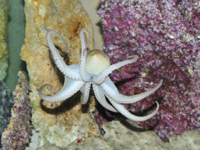 California Two-spot Octopus